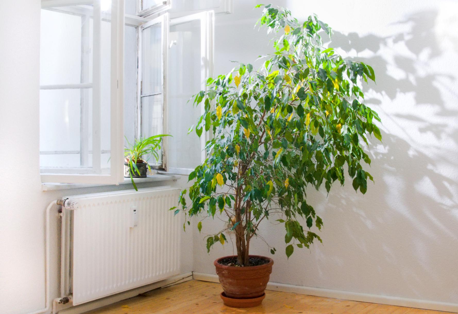 Quattro piante d 39 appartamento che depurano l 39 aria tgcom24 for Piante da interno alte