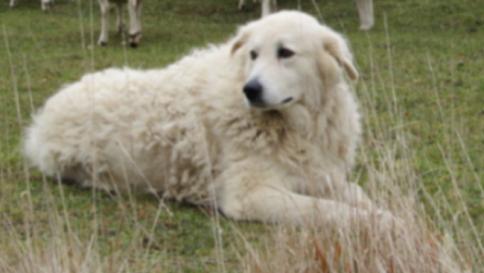 Aggredita da branco, viene salvata da Osvaldone: L'Aquila ha il suo cane-eroe