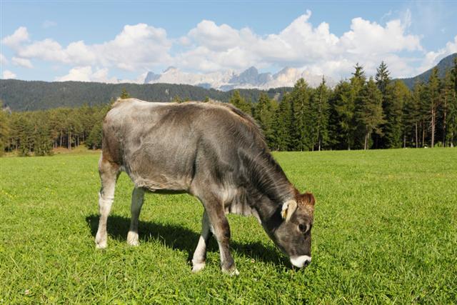 Il caso delle quote latte: prima le multe, ora elevata produzione e prezzi bassi