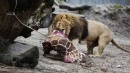 Orrore allo zoo di Copenaghen: la carcassa della giraffa Marius data in pasto ai leoni