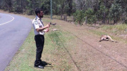 Australia, automobilista fa strage di canguri: 17 uccisi