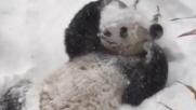 Usa, il panda Tian Tian si gode la neve allo zoo di Washington