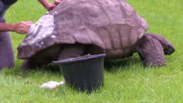Il primo bagnetto della tartaruga più vecchia al mondo