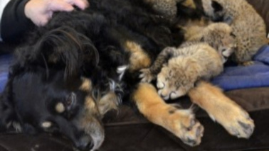 """Cincinnati, cane diventa """"mamma"""" di 5 ghepardi"""