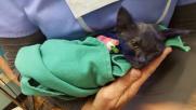 Usa, gattino tinto di blu usato per addestrare cani
