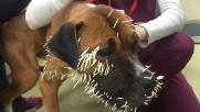 Colorado, quando un cane si imbatte in un porcospino