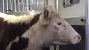 Ny, la mucca Freddie in fuga: dal macello al rifugio