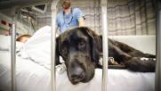 Bambino autistico e labrador inseparabili in ospedale
