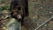 Arezzo, campagna social per salvare l'orso comunista