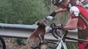 Australia assetata: Koala ferma ciclista e beve dalla borraccia