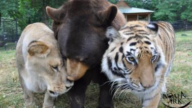 Un orso, una tigre e un leone vivono come fratelli in Georgia