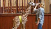 Mamma giraffa lo rifiuta: salvato da zoo di Varsavia
