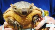 Dopo l'abbuffata natalizia l'armadillo si mette a dieta