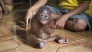 Ecco Joss, la piccola orangutan che si abbraccia da sola