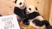 Toronto, festa nello zoo per il compleanno dei piccoli panda