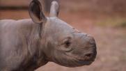 Debutta Gabe, il rinoceronte a rischio estinzione