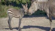 Usa, è nata una piccola zebra della sottospecie di Hartmann