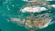 Florida, migliaia di squali migrano verso acque calde