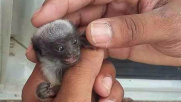 Amazzonia: poliziotto salva scimmietta a rischio estinzione