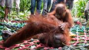 Mamma orango, la fame e la difesa del suo cucciolo