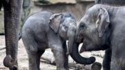 Berlino, battezzata l'elefantino di Tierpark: si chiama Edgar