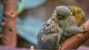 Gb, nato il cucciolo della più piccola scimmia al mondo