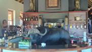 Sorpresa in Sudafrica, dietro al bancone del bar c'è un bufalo