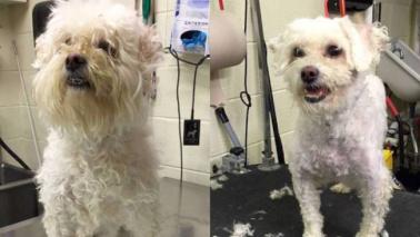 Coiffeur gratis per i cani più anziani per farli adottare