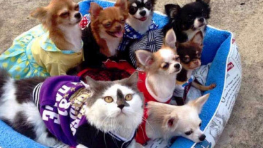 Il gatto Richie papà amorevole di sette piccoli chihuahua