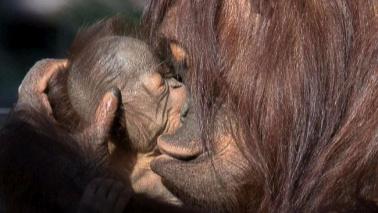 Florida, allo zoo di Tampa tre generazioni di orango