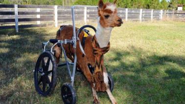 """Usa, alpaca paralizzata """"rivive"""" grazie a una sedia a rotelle"""