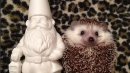 Biddy, il piccolo riccio giramondo conquista Instagram