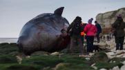 Capodogli spiaggiati nel Nord dell'Inghilterra: le foto