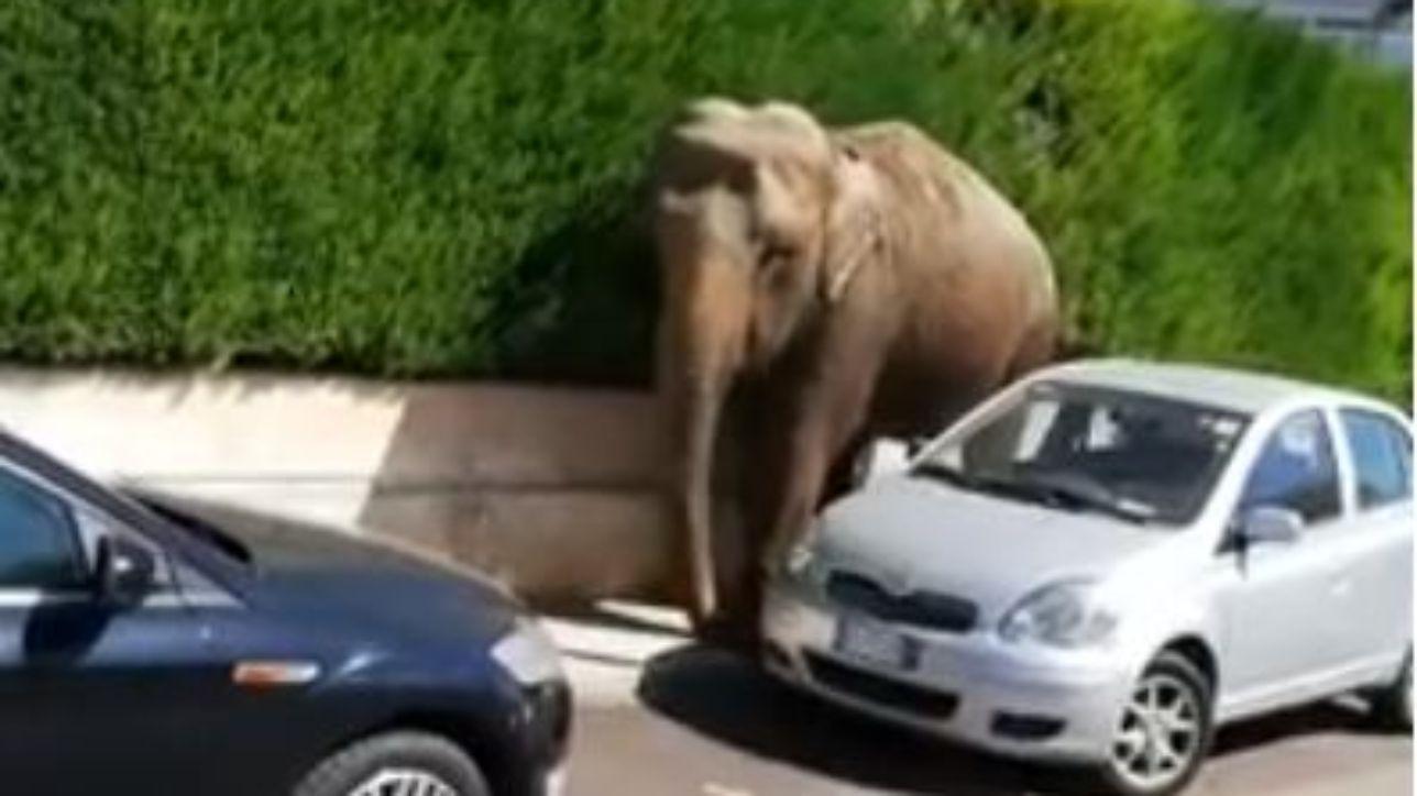 Brindisi, elefante scappa dal circo e va a spasso per la città